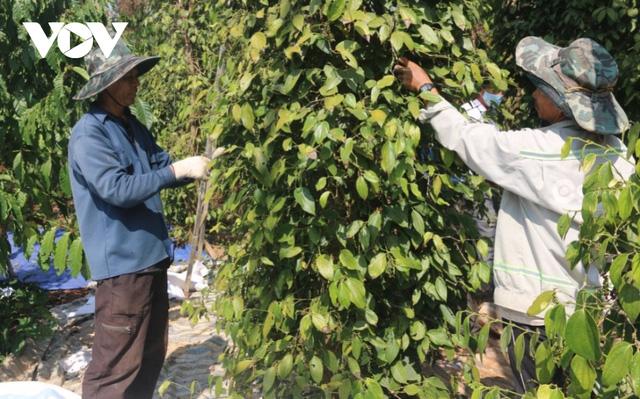 Nhiều nhà vườn trồng tiêu thua lỗ nặng vì mất mùa, mất giá  - Ảnh 1.