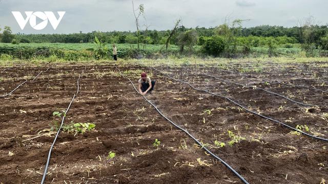 Nhiều nhà vườn trồng tiêu thua lỗ nặng vì mất mùa, mất giá  - Ảnh 3.